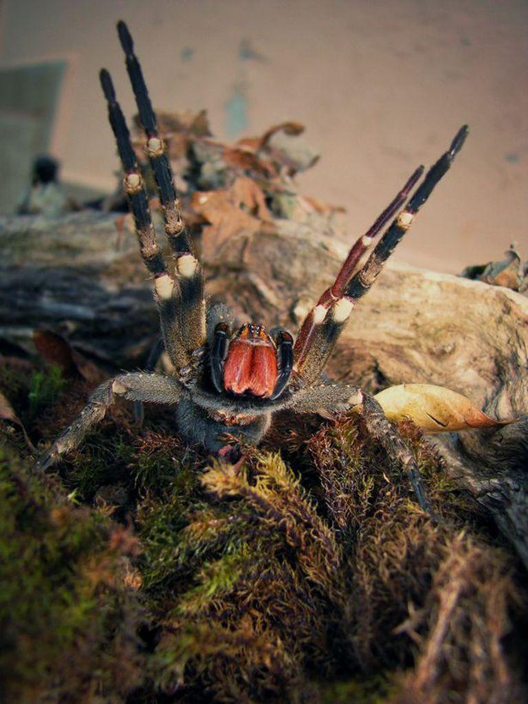 La araña errante brasilera es considerada una de las más venenosas del mundo. Fuente: Getty Image.