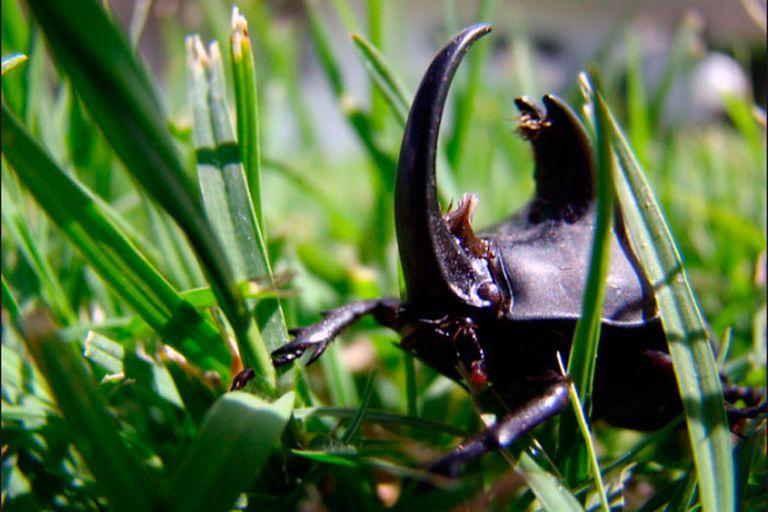Así es la dura vida del escarabajo rinoceronte argentino, bicho toro o candado (Diloboderus abderus de acuerdo con la taxonomía científica): corta y aventurera