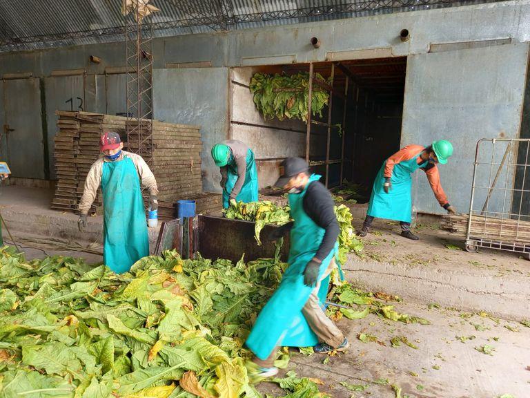 En el Valle de Lerma, en Salta, el productor tabacalero Eduardo Rodríguez perdió un 25% de la cosecha de tabaco por la falta de mano de obra