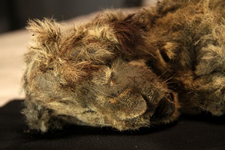 Esparta, la cachorra de león que data de la Edad de Hielo, fue encontrada con su pelaje, esqueleto y órganos casi intactos