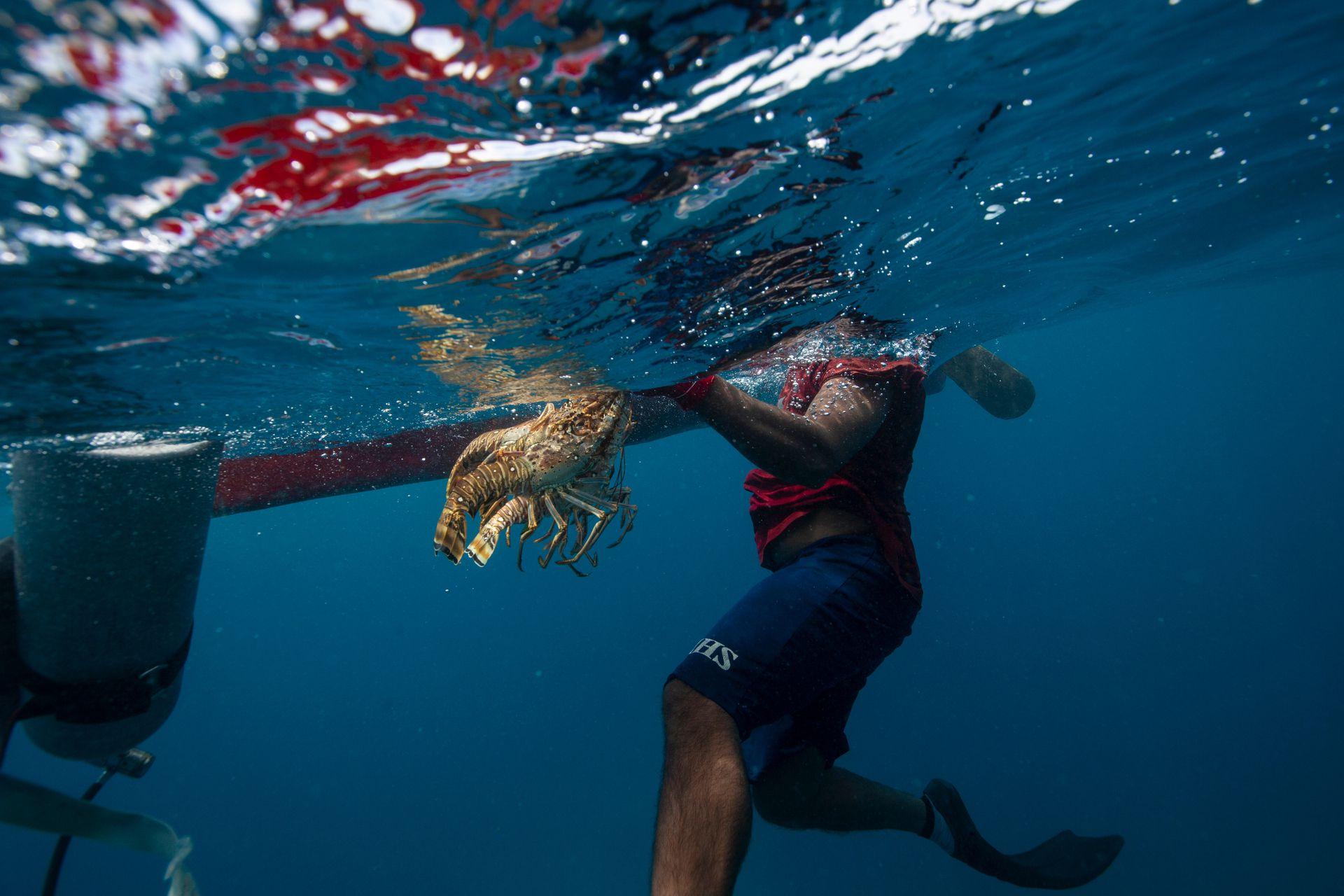 Un pescador lleva una langosta a su bote cerca del Cayo Savanna. Cada buzo recibe 3 dólares por cada libra de esta especie