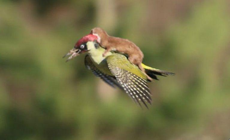 Según el fotógrafo, la comadreja se lanzó contra el pájaro carpintero que comenzó a volar con el atacante sobre sus alas