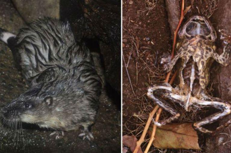 La rata acuática evita morir por intoxicación diseccionando el vientre del sapo e ingiriendo solo su corazón e hígado