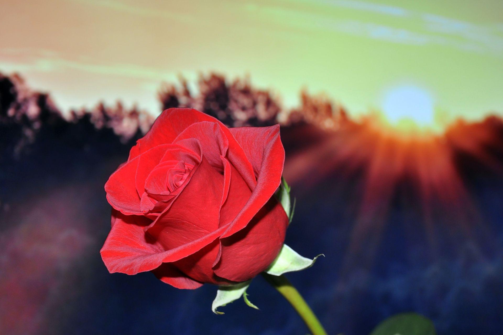 Una rosa cada domingo.