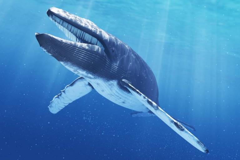 Cada subespecie de ballena azul tiene un canto particular