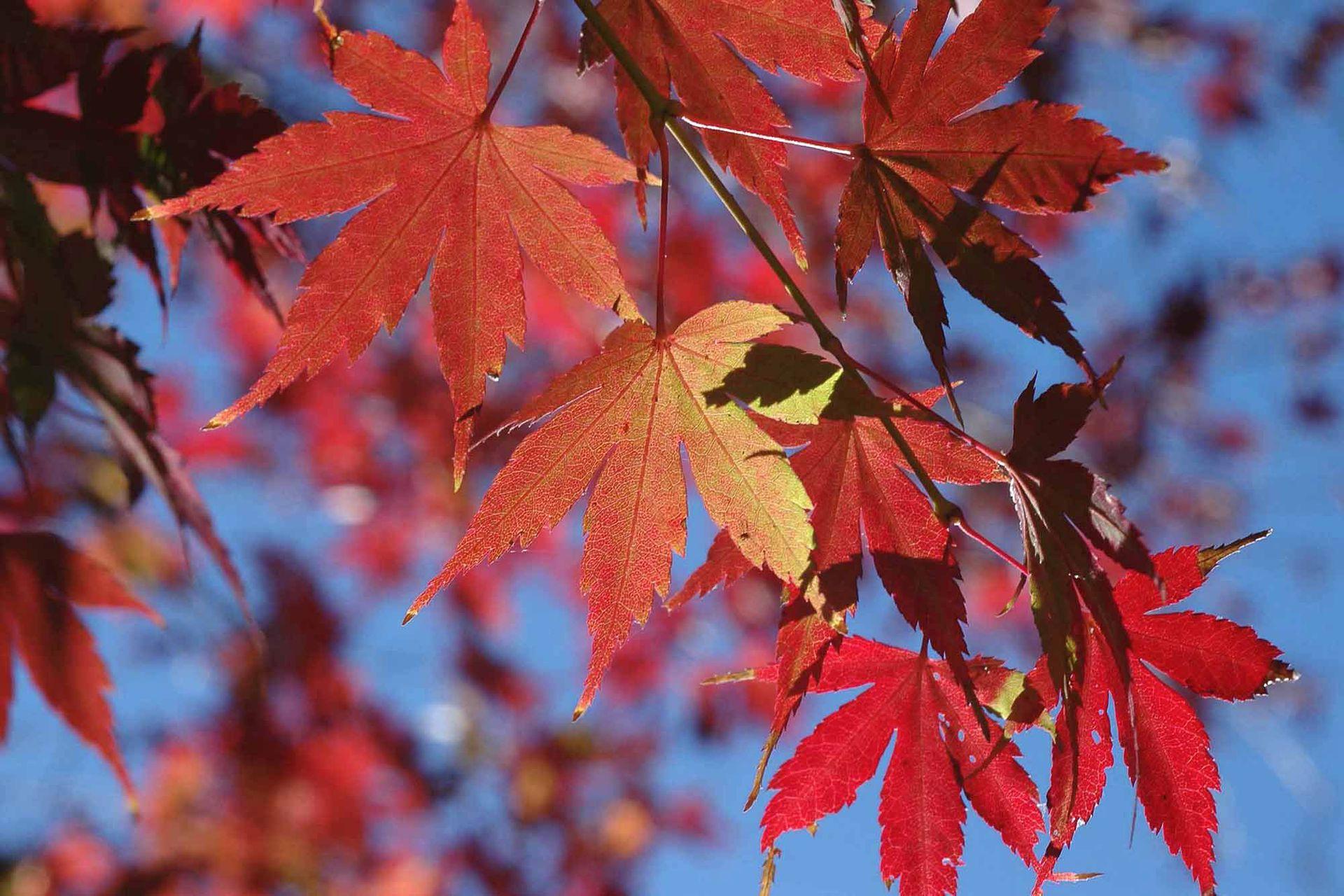 Acer palmatum 'Atropurpureum': Esta variedad tiene el follaje tonalizado de rojo  durante todo el ciclo, que contrasta y se realza con el verde circundante. Crece bien bajo un ligero sombreado. Puede ser un pequeño árbol o un arbusto.