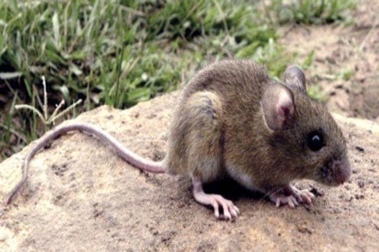 Chubut: confirman un caso de hantavirus en Epuyén