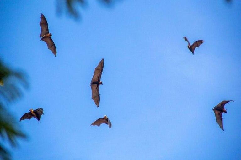 Los murciélagos sobrevuelan el mercado de Battambang defecando y orinando en cualquier sitio