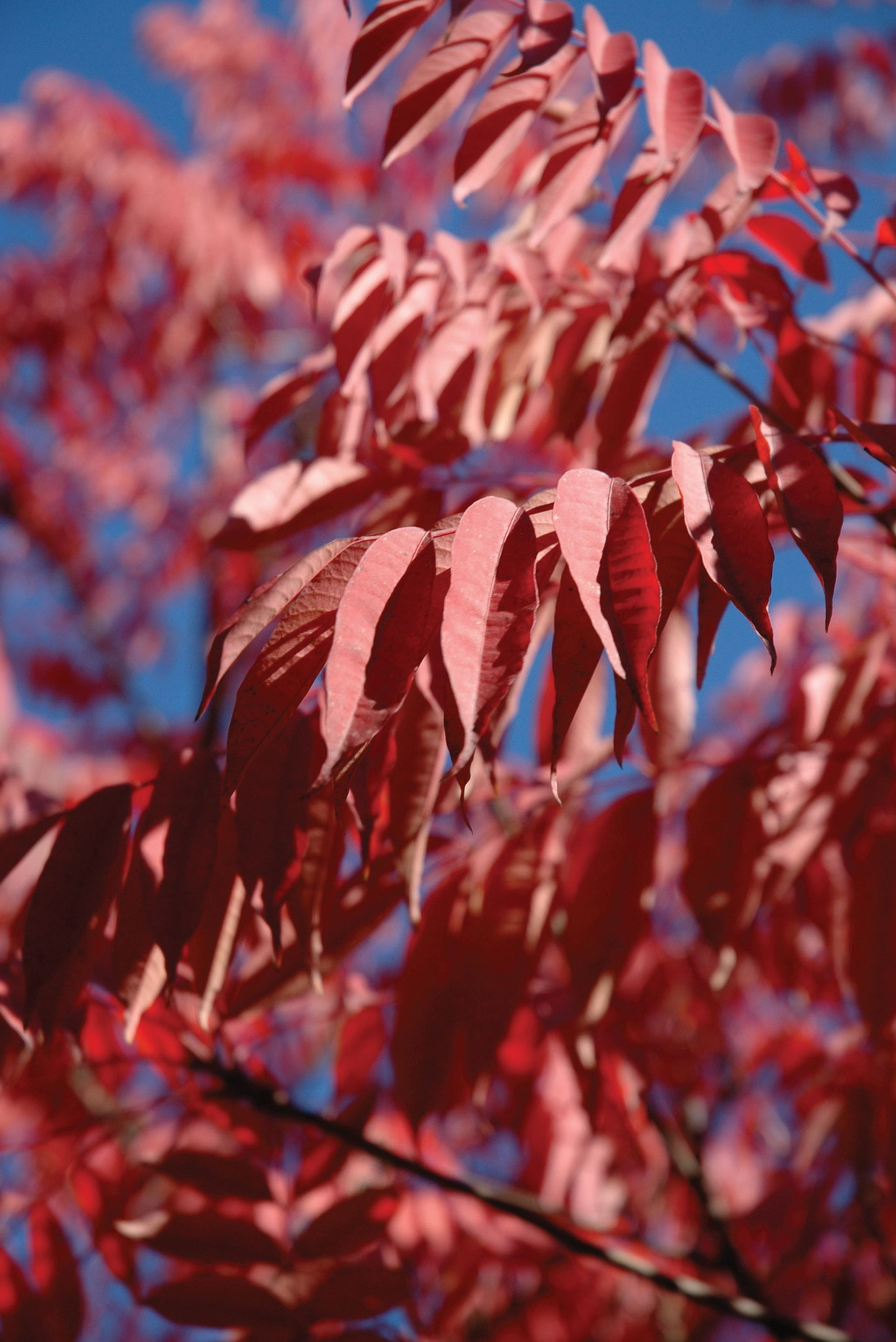Los Rhus succedanea se distinguen porque tienen los folíolos de las hojas lisos, no aserrados. Los problemas que causan pueden ser serios, en especial para quienes son proclives a las alergias.