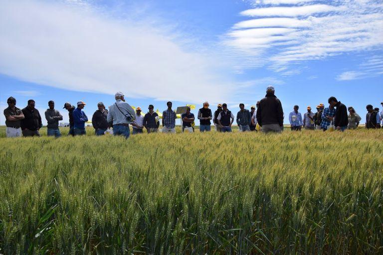 Apuesta al manejo de cara a la nueva campaña de trigo