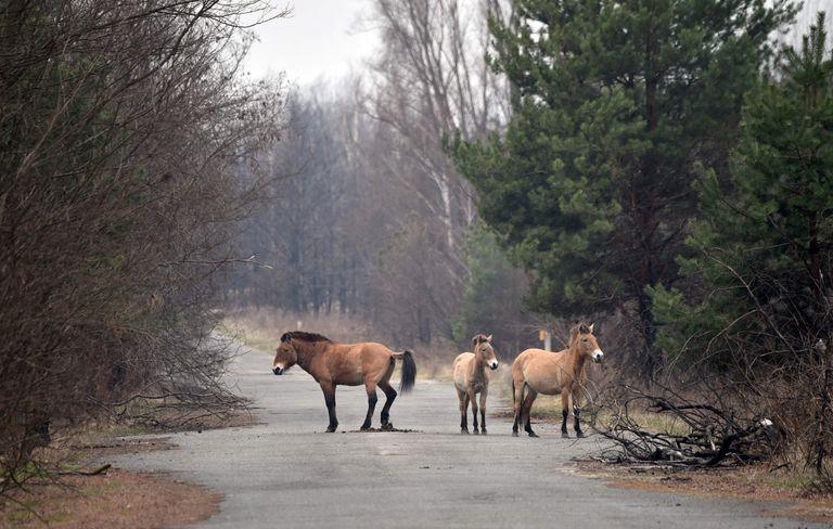El caballo de Przewalski es una especie en extinción que sorpresivamente deambula por el área de Chernobyl