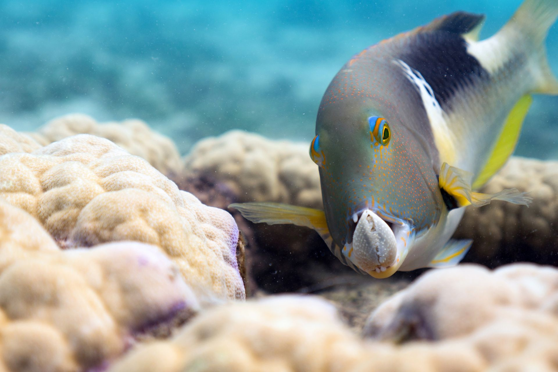 Choerodon anchorago (vieja de colmillos) sostiene una almeja con sus fauces formidables en la Gran Barrera de Coral, Australia. Son uno de los pocos peces de los arrecifes de coral que utilizan afloramientos de coral como herramienta