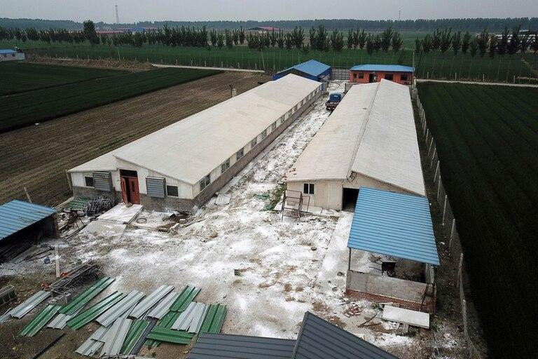 Polvo desinfectante alrededor de una granja porcina en Jiangjiaqiao, al norte de China