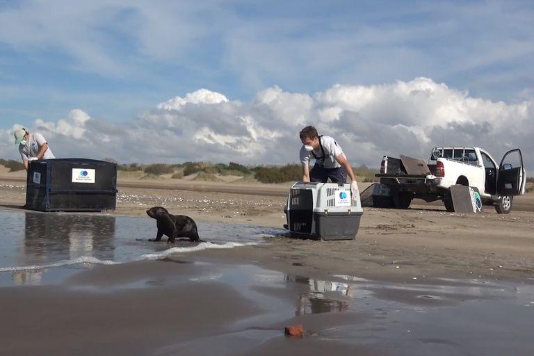 Un lobo marino rescatado en Dock Sud fue devuelto al mar