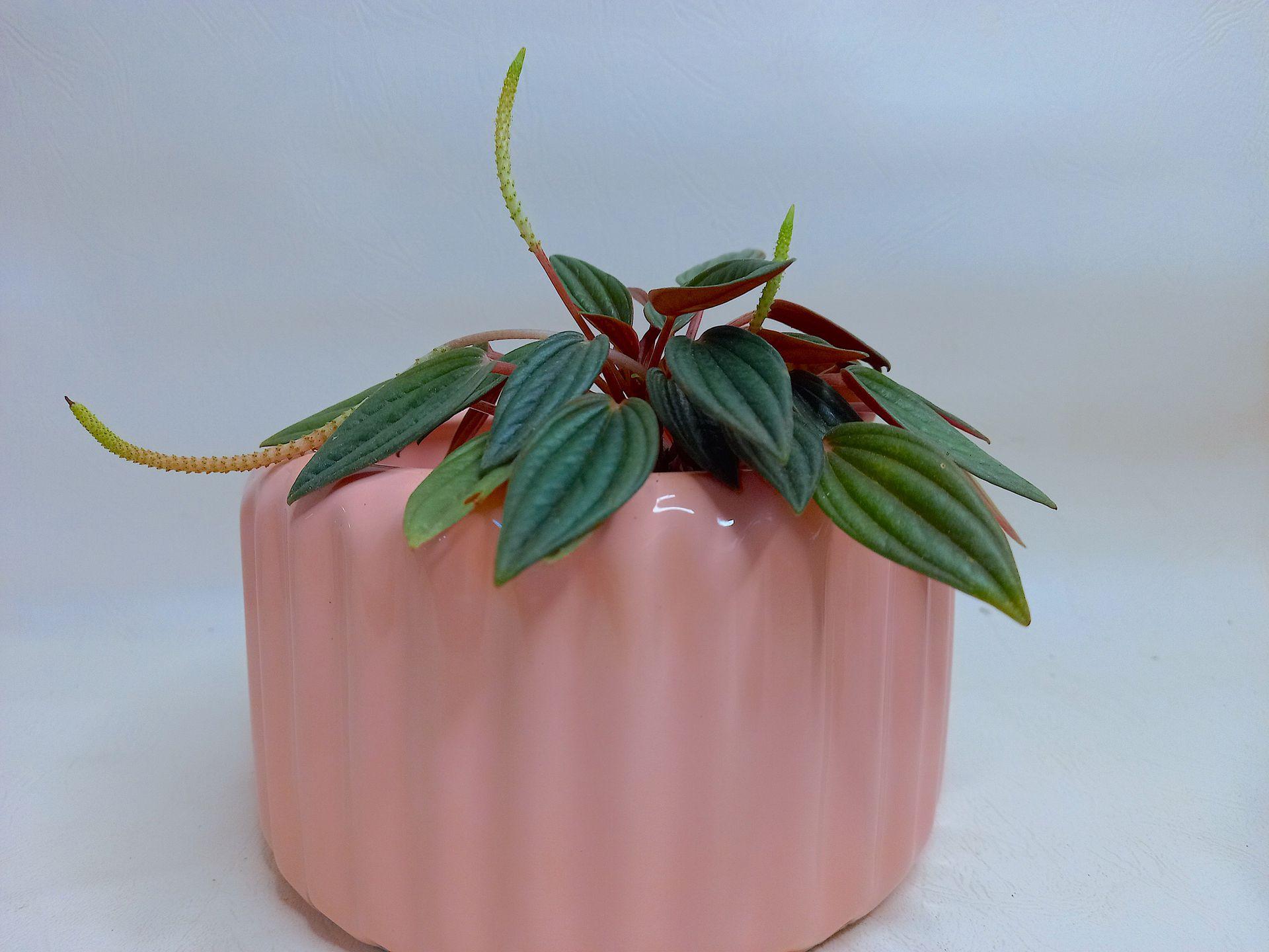 Maceta de cerámica con una Peperomia caperata Rosso.