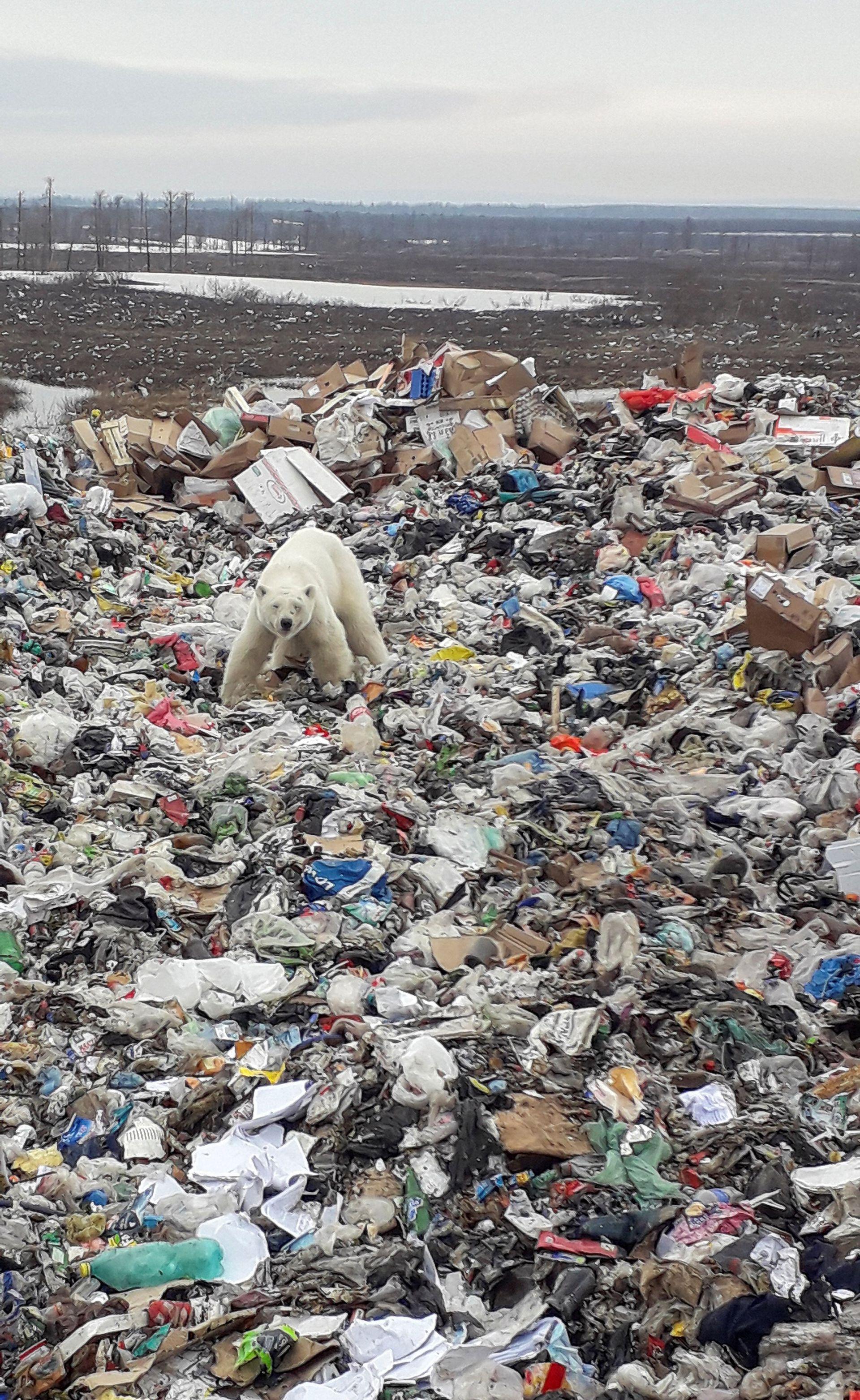 Un oso polar en un basural de Siberia