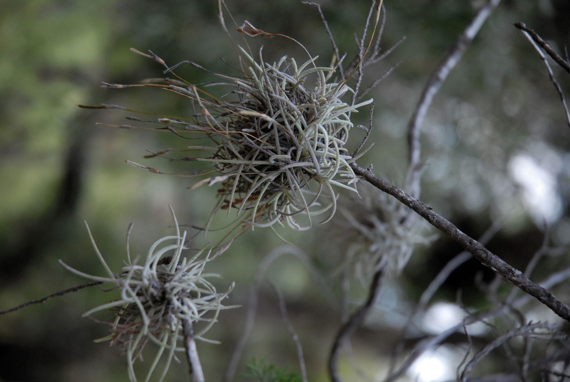 El clavel del aire es una planta epífita que se desarrolla sobre plantas leñosas.