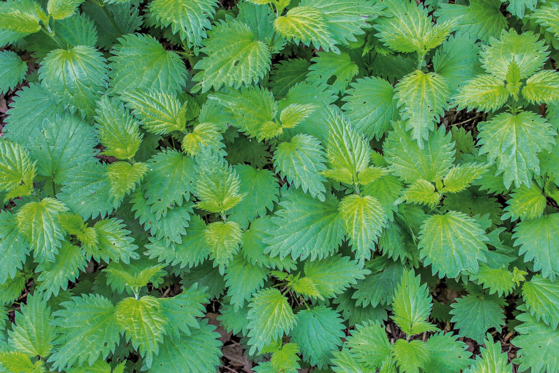La planta de ortiga es característica por sus hojas con borde acerrado. Crece de manera silvestre en caminos, banquinas y hasta en las veredas.