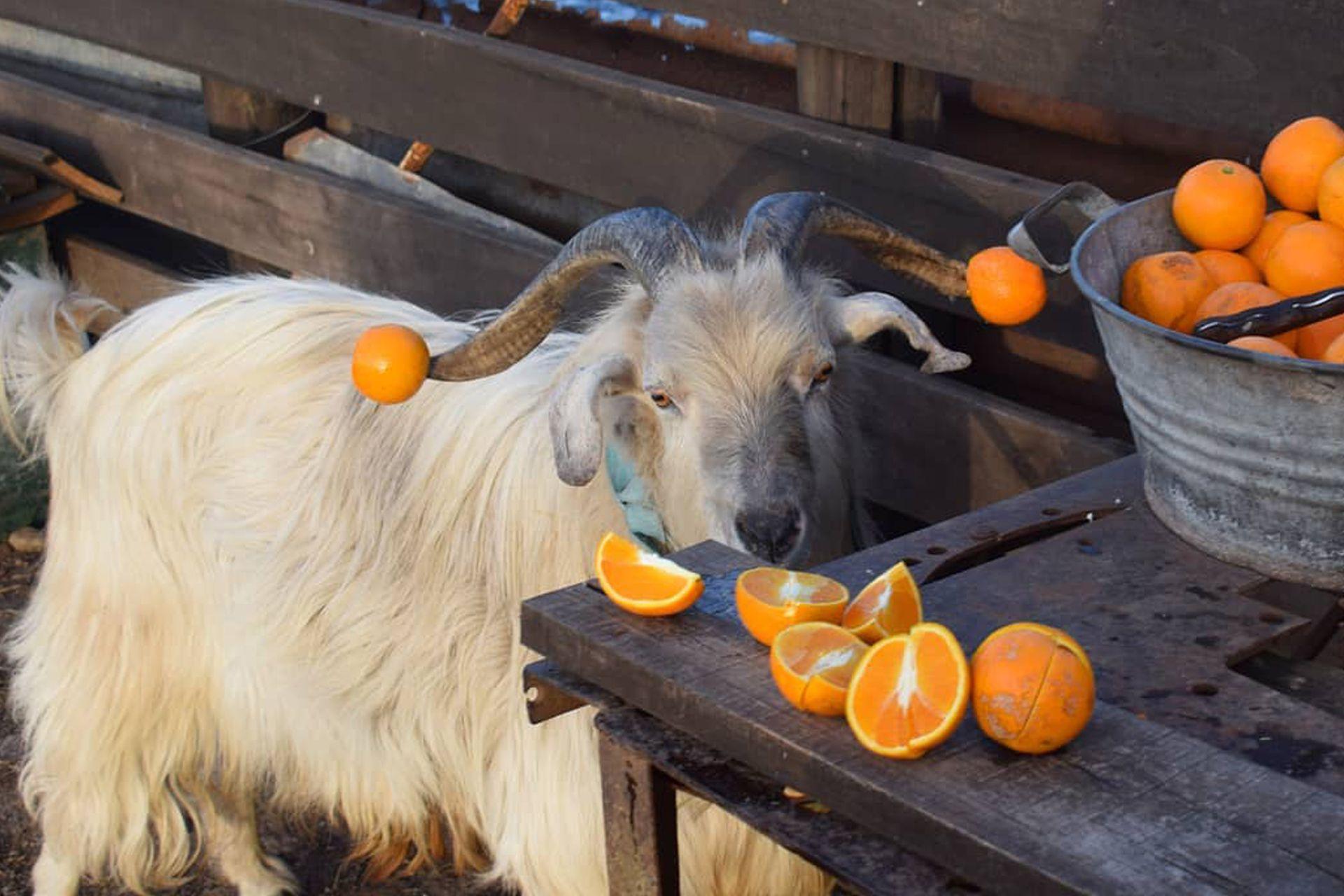 Panzi se enoja cuando le dan naranjas en lugar de zanahorias.