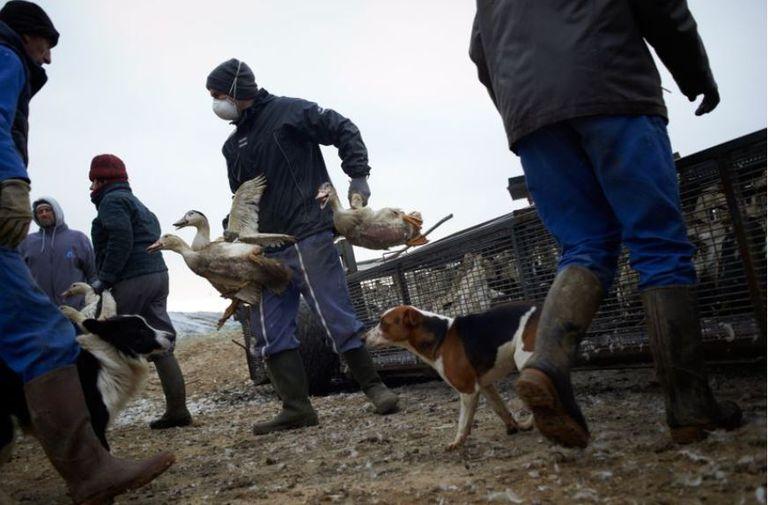 Los trabajadores de una granja afectada por el virus H5N8 transportan patos para su sacrificio, el 13 de enero, en Mugron (Francia)