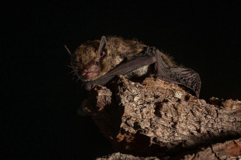 La córnea de los ojos fue identificada como la ubicación del críptico sentido de la orientación que exhiben los murciélagos migratorios