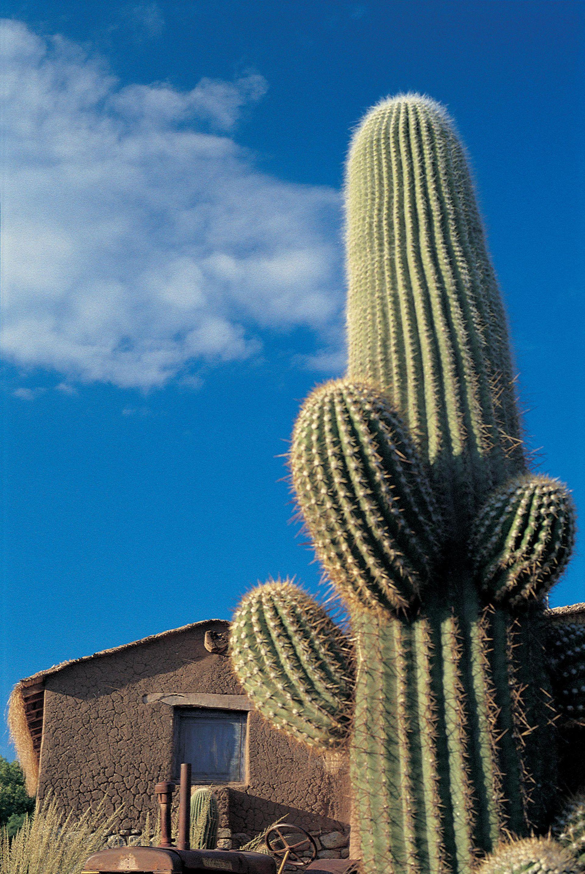 Inmenso y escultural, Trichocereus pasacana, conocido como Cardón, llega a medir 15 metros de alto.