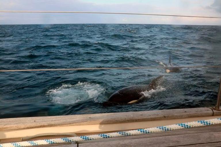 Dos de las orcas aproximándose al velero que se dirigía al Estrecho de Gibraltar