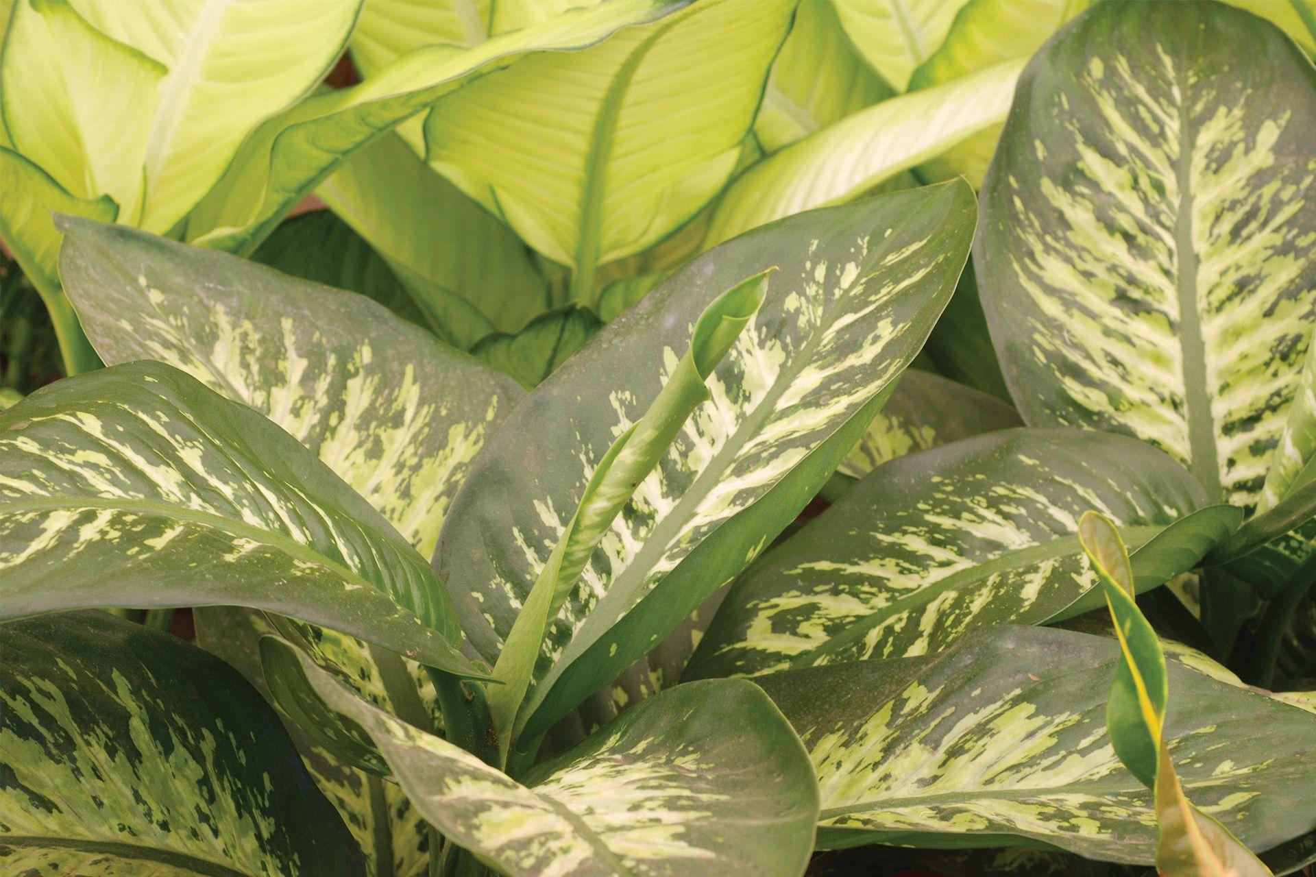 La Dieffenbachia (caña de mudo), tiene múltiples y atractivas variedades, además de resistencia a condiciones de cultivo en interiores. Los padres de chicos pequeños deberían abstenerse de tenerlas en sus casas.