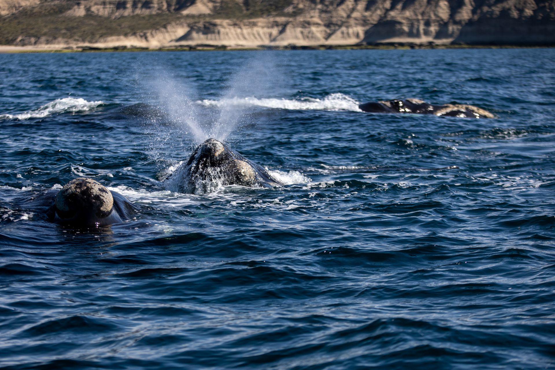 Muchas ballenas, curiosas y sociables, se acercan a las embarcaciones y permiten verlas desde muy cerca