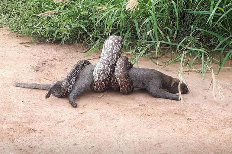 El ataque de una boa lampalagua a un puma yaguarundi, en Salta