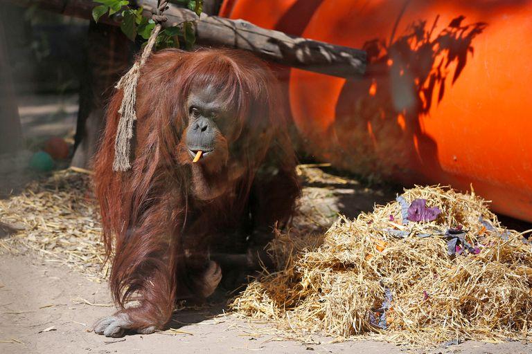 La orangutana Sandra será trasladada mañana del Ecoparque a Estados Unidos