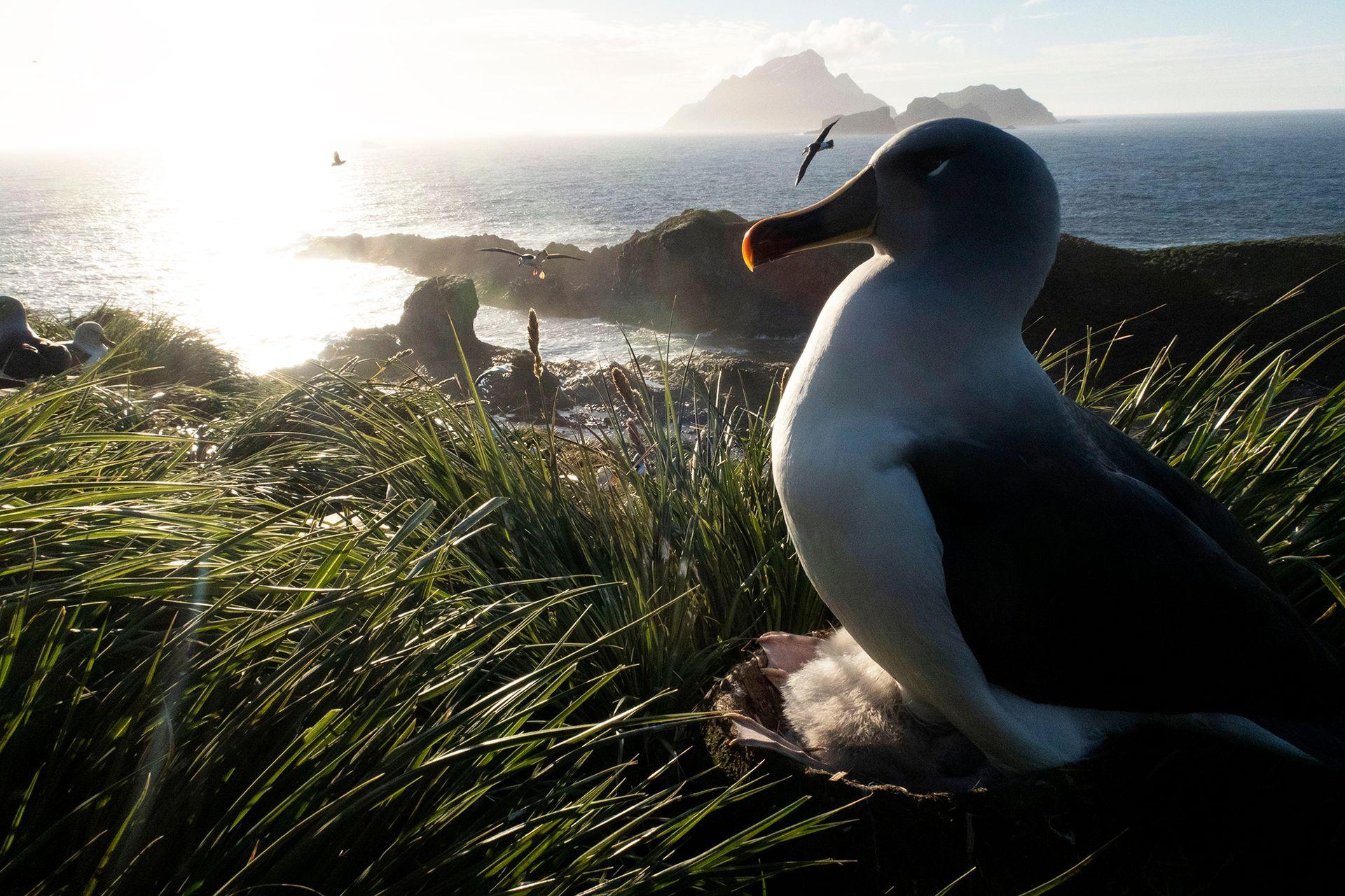 Un albatros adulto cabeza gris está sentado en su nido en la Isla de los Pájaros