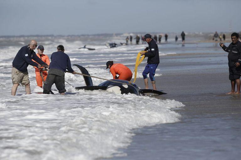 Rescatistas intentan devolver a los animales al mar