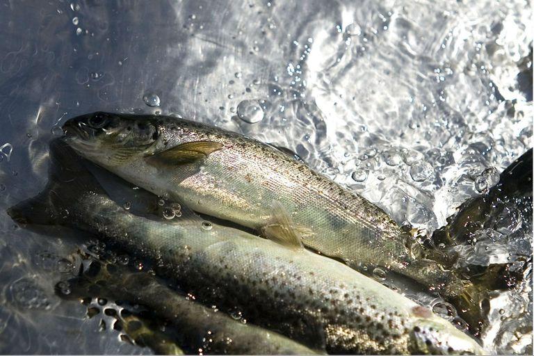 Detalle de algunos salmones en la salmonera Invertec