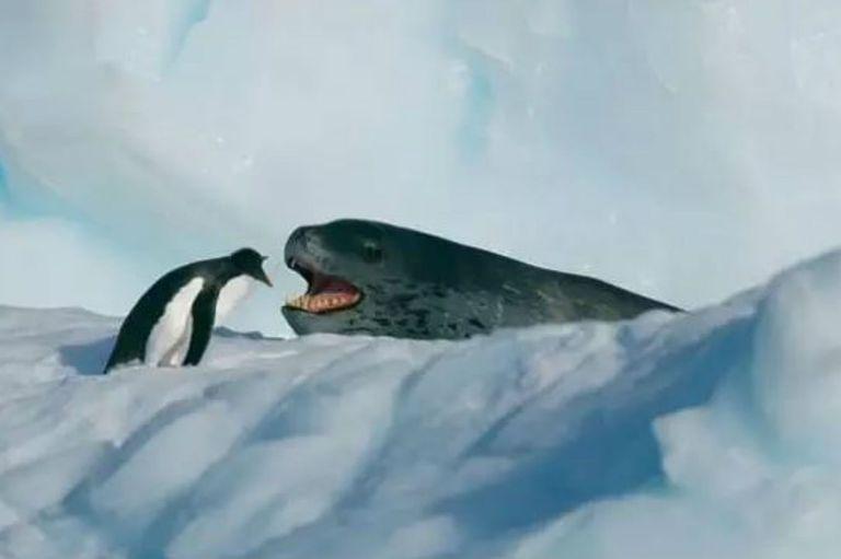 La incansable persecución de una foca leopardo a un pingüino