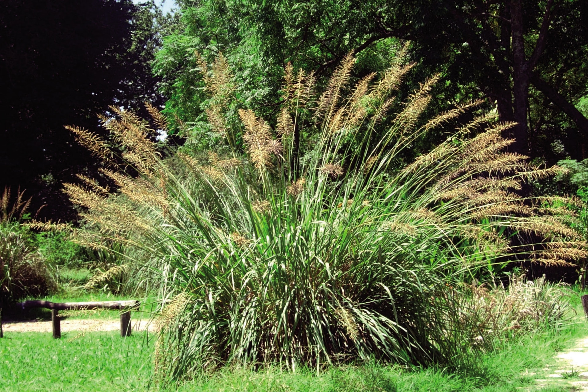 La paja colorada (Paspalum haumanii), es una hierba nativa perenne que, en la Argentina, vive espontáneamente en los pajonales de la Mesopotamia hasta la ribera rioplatense. Florece en primavera.