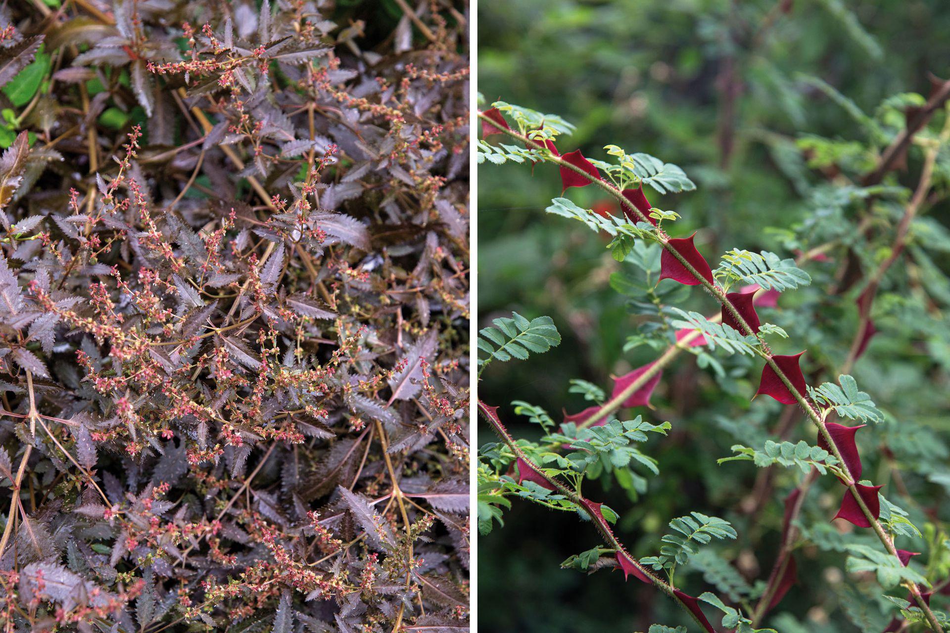 Izquierda: Haloragis erecta 'Bronze' es una herbácea perenne de unos 45 cm, ideal para los primeros planos de un cantero. Es muy resistente al frío y ese color bronceado se mantiene durante todo el año. Necesita pleno sol y es muy rústica. Derecha: La Rosa sericea pteracantha se destaca por sus particulares espinas grandes, planas y anchas, de color bordó. Para que aparezcan los tallos nuevos con esas espinas es muy importante la poda. Las flores son blancas, de pequeñas a medianas.