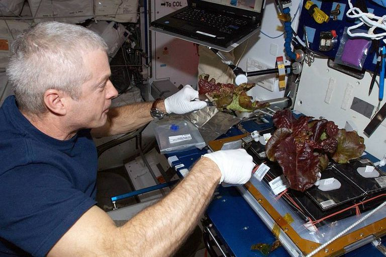 El astronauta Steve Swanson cultivando lechugas rojas a bordo de la Estación Espacial Internacional en junio de 2014.