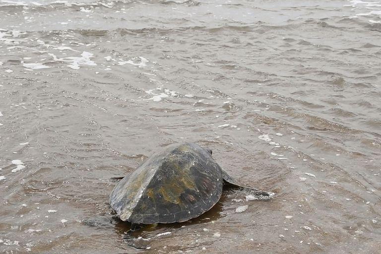 El sábado, una tortuga verde en estadío juvenil fue reinsertada al mar en San Clemente, luego de ser rehabilitada por la ingesta de plástico