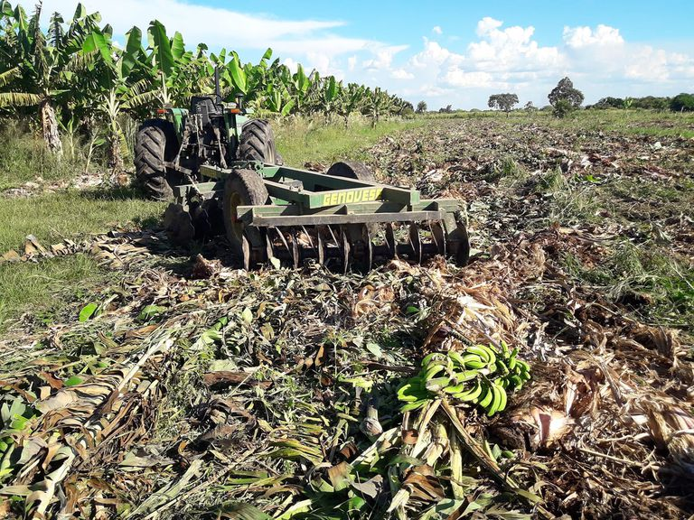 """""""Banicidio"""": alertan por la destrucción de plantaciones de banana en Formosa"""