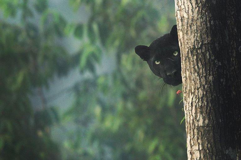 El elusivo animal fue fotografiado en el bosque de Kabini, ubicado en la localidad india de Karnaka