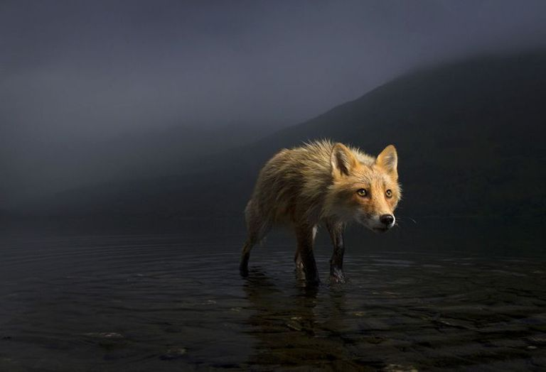 Una zorra busca cadáveres de salmón en las aguas poco profundas del lago Karluk, en el Refugio Nacional de Vida Silvestre Kodiak de Alaska.