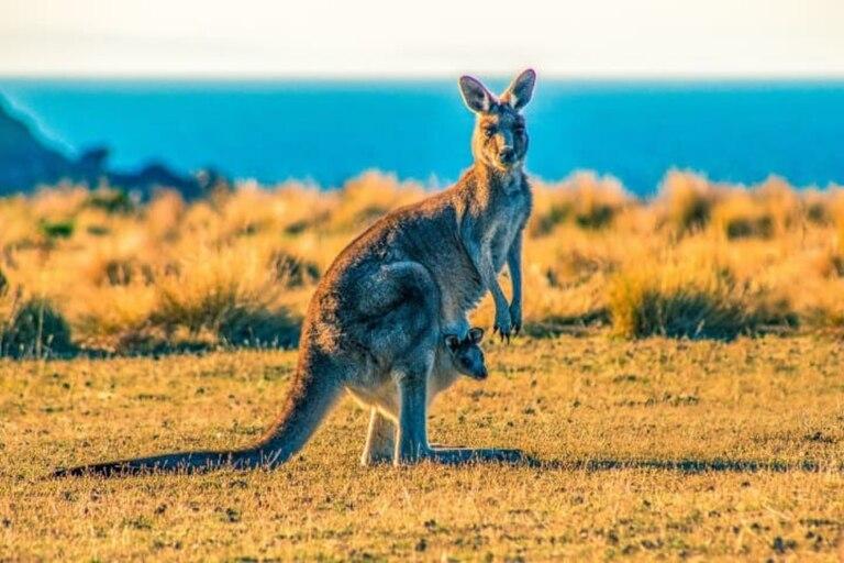 Conoce a Matt, el canguro que ingresa a un bar australiano todos los días y parece un empleado más