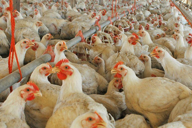 La Argentina volverá a exportar carne aviar a Europa