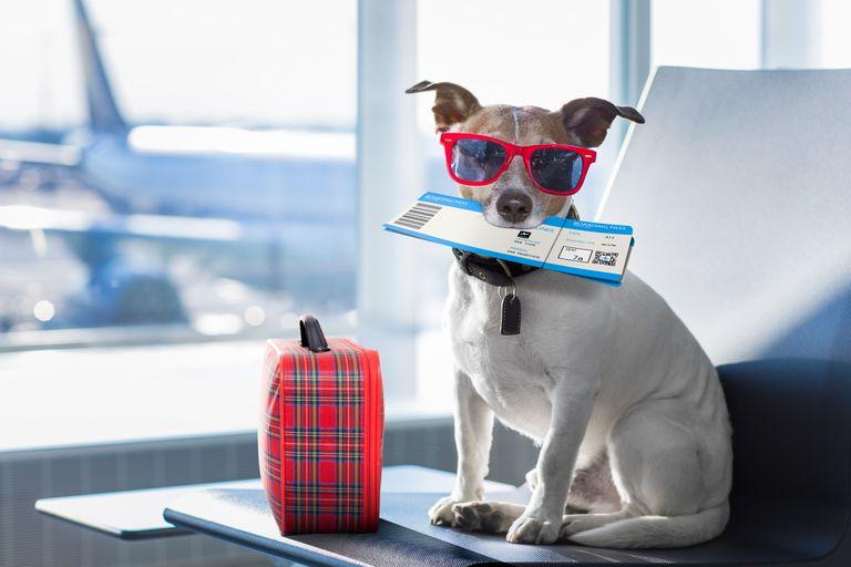 Cuánto cuesta, qué se necesita y qué animales pueden subir a un avión