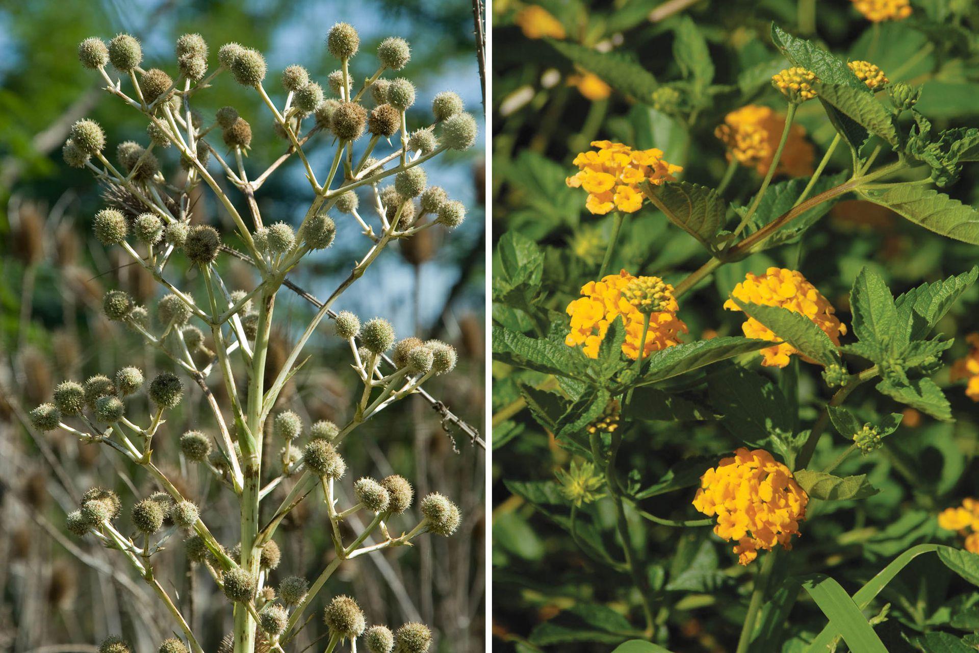 Izquierda: Eryngium sp. (falso caraguatá) Herbácea perenne, de tallo erguido, que puede alcanzar los 2 m de altura. Florece en primavera. Sus semillas se dispersan muy fácilmente. Derecha: Lantana camara. Es un arbusto perenne. Sus hojas son ásperas y rugosas. Sus flores son amarillas y aparecen en primavera y verano. Es de fácil cultivo, pero no resiste las bajas temperaturas.