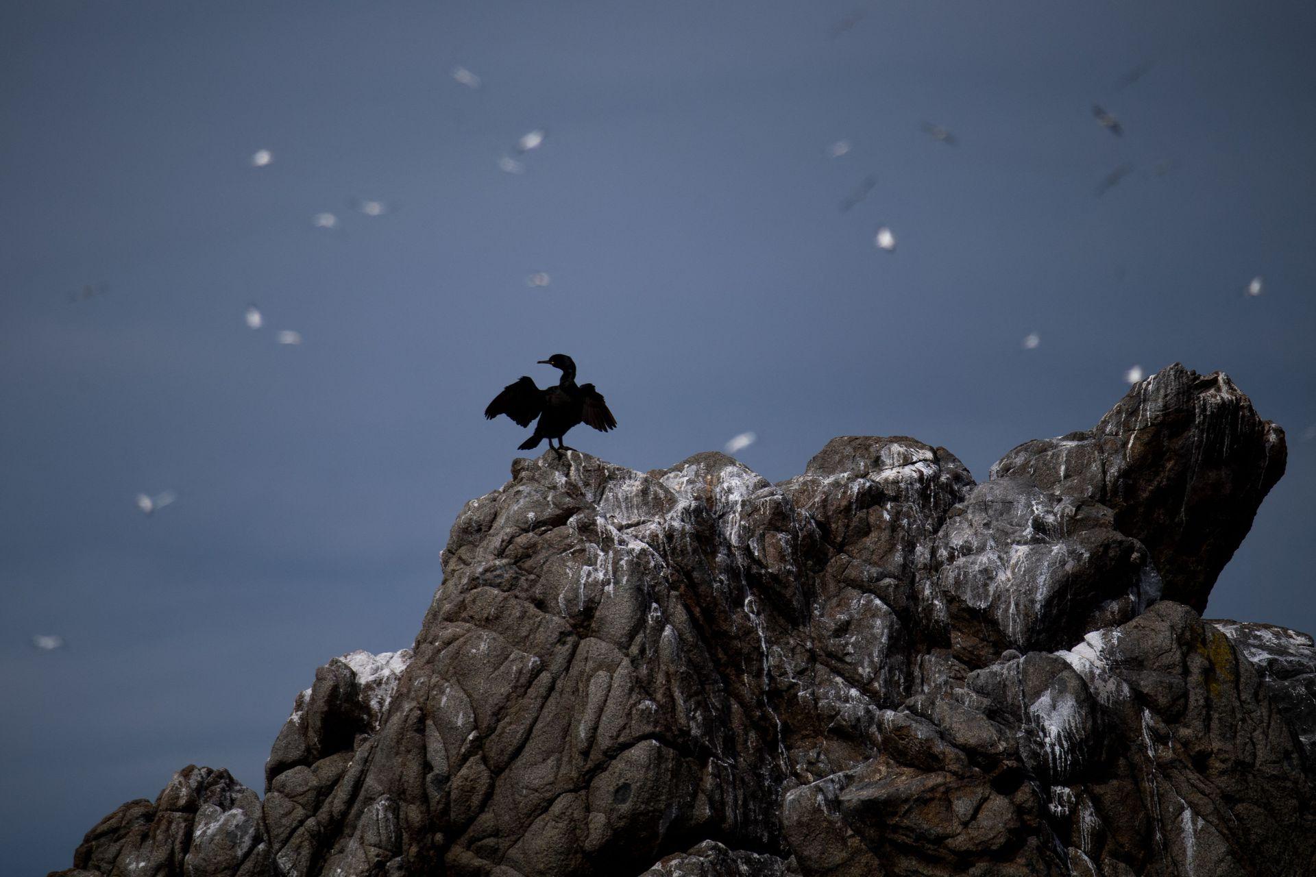 Araos, fulmares, gaviotas y pardelas manx se cuentan entre otras de las muchas especies que prosperan aquí. También hay una pequeña colonia de focas grises, aunque las aves las superan enormemente en número