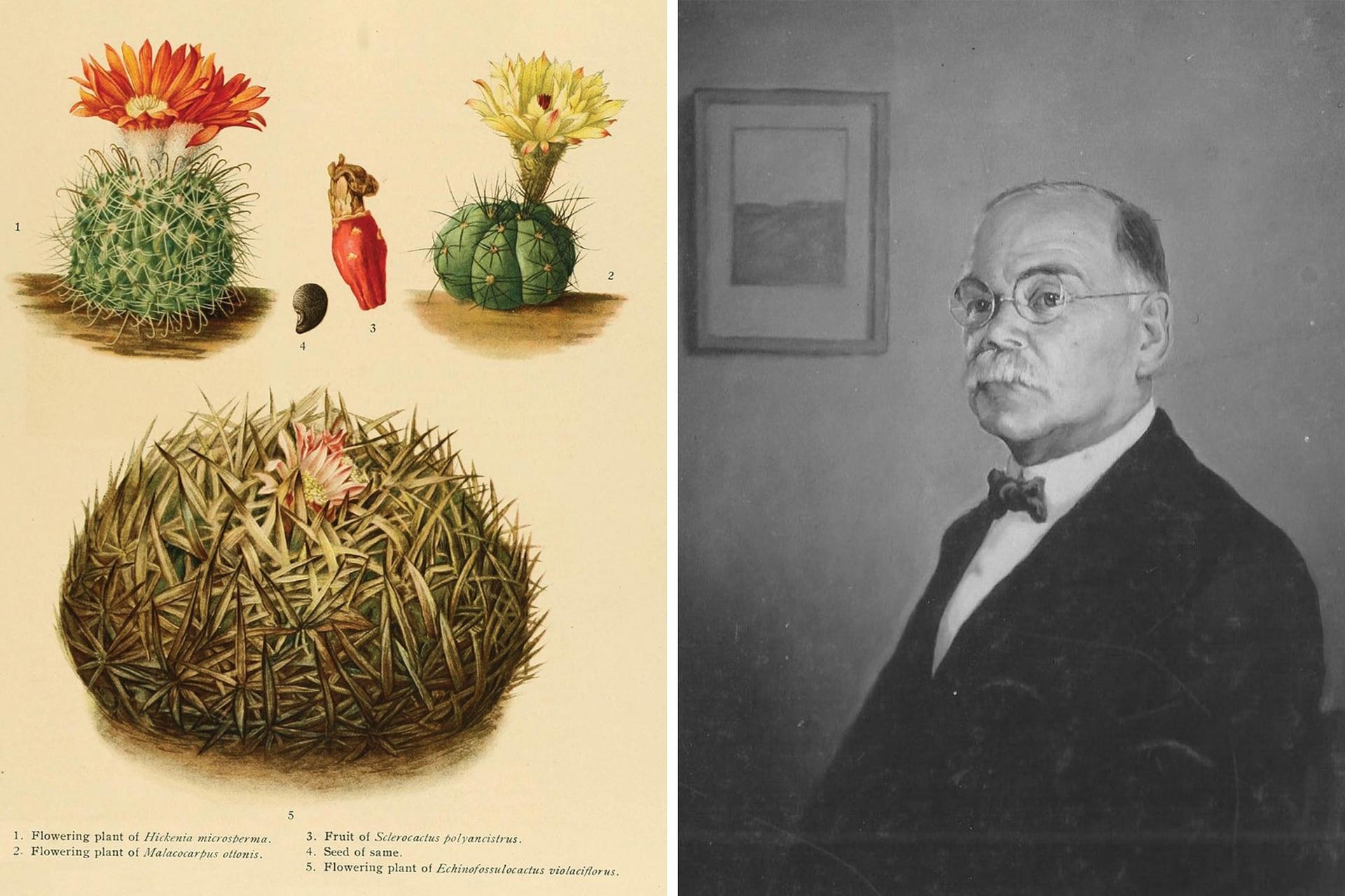 Ilustración de el género Hickenia (izquierda), planta que debe su nombre al botánico argentino Cristóbal Hicken (derecha), aunque solo una especie corresponde a un cactus nativo.