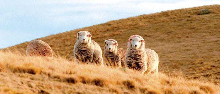La ley tiene por objetivo recuperar el stock ovino y promocionar el arraigo de la población en las distintas regiones rurales del país
