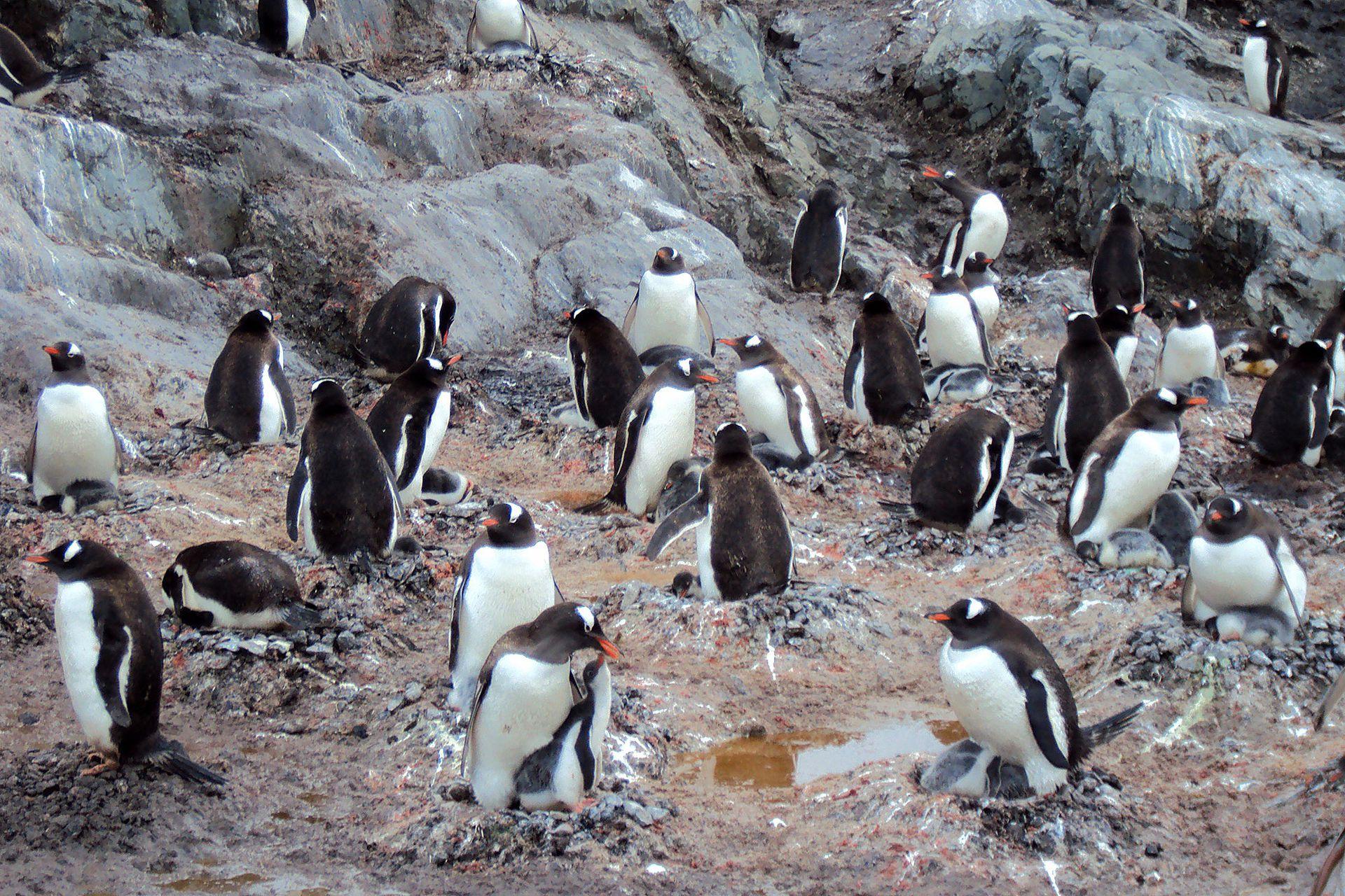 Colonia de pingüinos de vincha. Son fácilmente identificable por su parche blanco en la parte alta de la cabeza detrás de los ojos